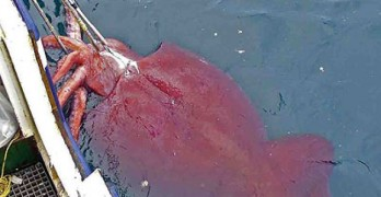 Mar del Giappone, avvistata seppia gigante (VIDEO).