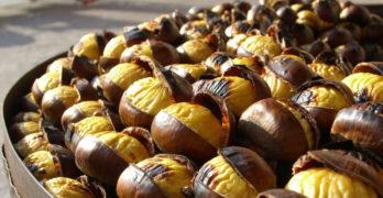 Debellato il parassita Dryocosmus kuriphilus, i produttori di castagne possono festeggiare